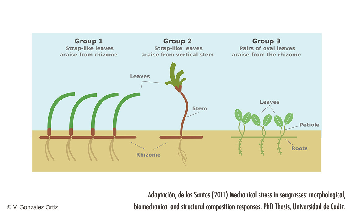 Seagrass groups